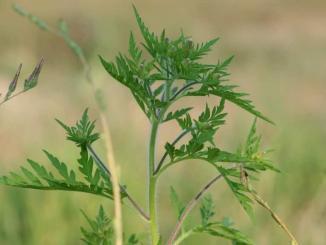Ambrosiapflanze, Allergieausloeser, Lifestylethemen aktuell