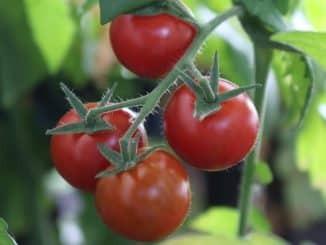 Tomatenpflege, Tomaten ausgeizen