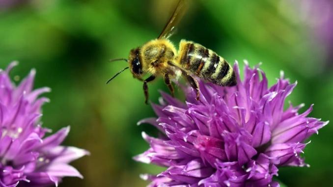 Gartenarbeiten im März, Kräuterbeet, Schnittlauch, Obstbaumschnitt