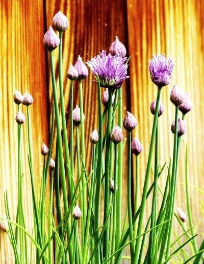 Kraeuter pflanzen, Schnittlauch im Garten