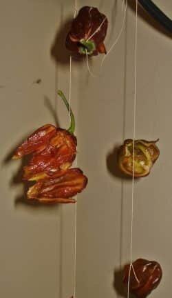 Chilischoten auffädeln und trocknen
