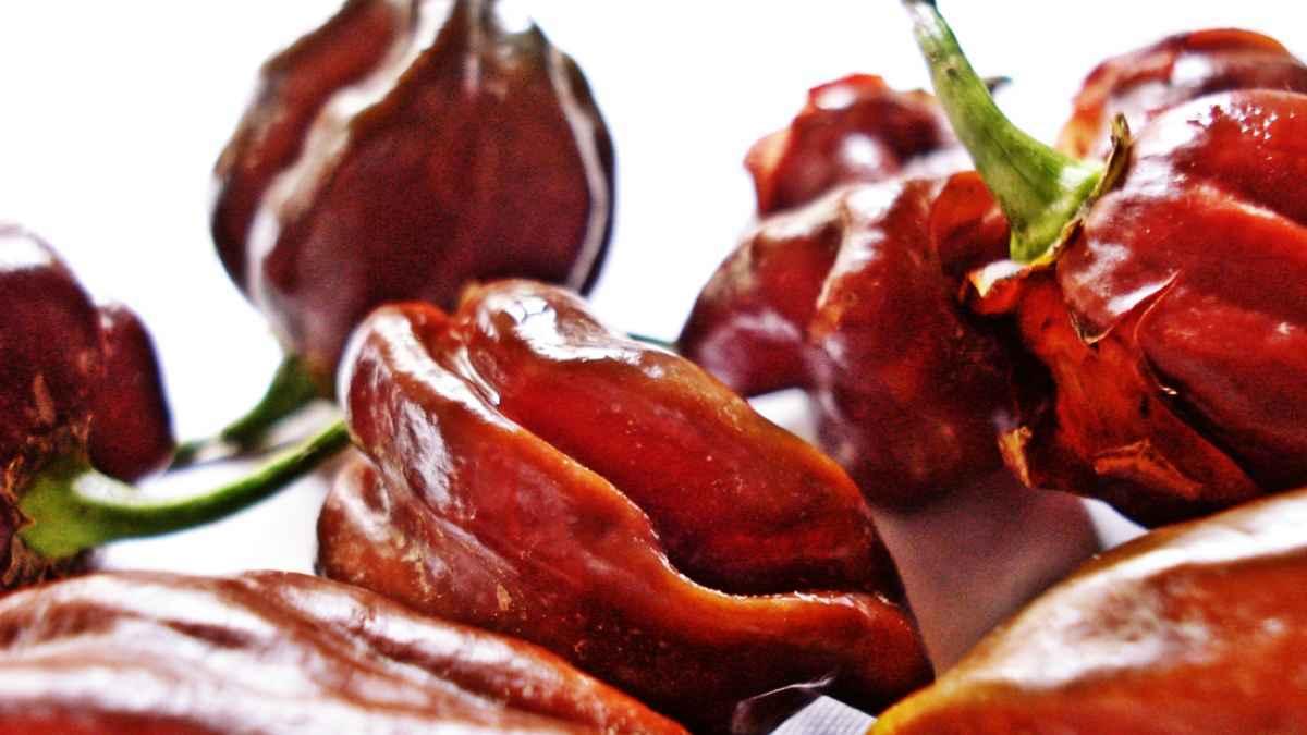 Chili Habanero trocknen, Garten Magazin