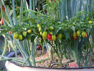 Chili anbauen, wann Chili aussäen