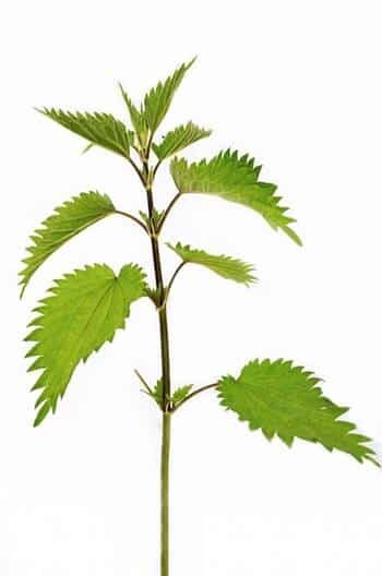 Die Brennnessel ist kein Unkraut, sondern eine traditionelle Heilpflanze