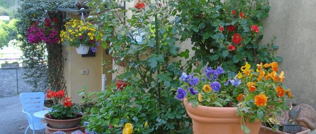 Englische rote Rosen, David Austin, Rosen im Garten