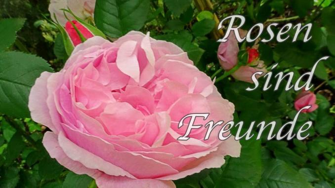 Garten anlegen, englische Rosen, Gartengestaltung