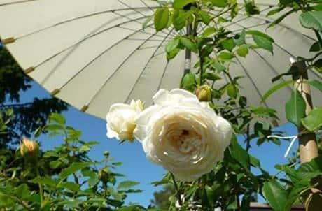 es ist sommer mit englischen rosen von david austin. Black Bedroom Furniture Sets. Home Design Ideas