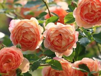 -Lady of Shalott, eine David Austin Rose in warmen Orange