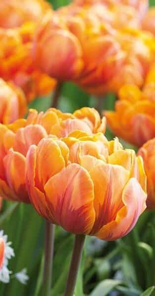 gefüllte Tulpen, orange