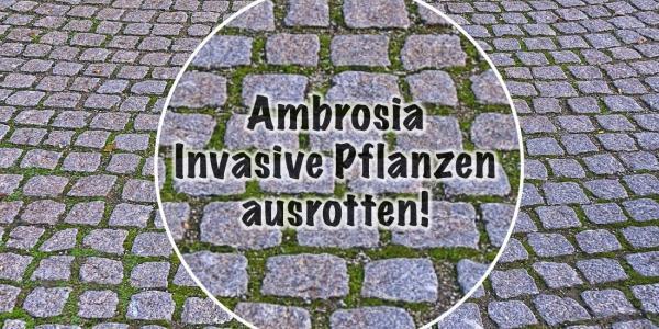 Vorbild Schweiz   Mit der Neobiota-Strategie Pflanzen die Ambrosia ausrotten?
