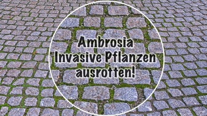 Ambrosia ausrotten, Neobiota Strategie, Infos vom Online Magazin Lifestyle4unique