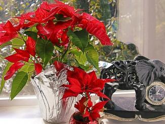 Weihnachtsstern, Pflege und Gießen