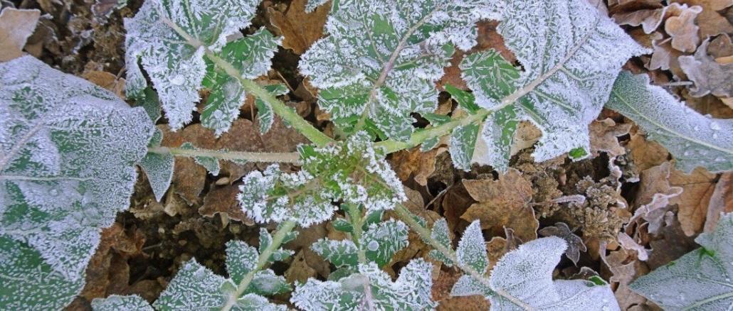 Palmkohl einfrieren, Schwarzkohl, Toskanischer Kohl im Winter