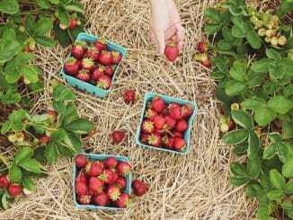 Hier können Sie Erdbeeren selber pflücken