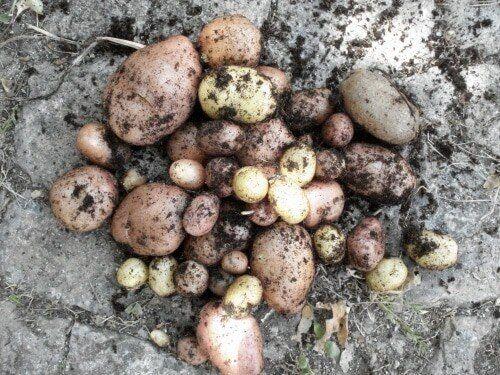 Kartoffeln im Pflanztopf ernten, Anleitung für Kartoffeln im Topf,