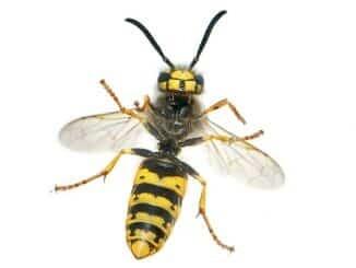 Bild Wespe, Vergleich Wespe Biene, Wespe wie erkennen,
