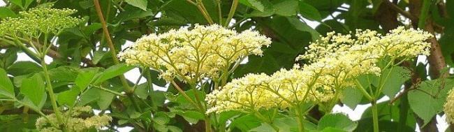 Im Mai: Wertvolle Holunderblüten für Sirup und Tee sammeln