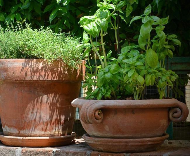 pflegeleichte Pflanzen im Garten, Kräuter