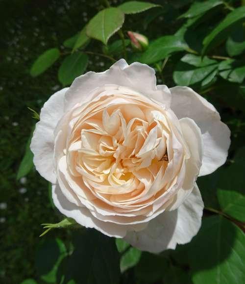 Es ist Sommer   Mit englischen Rosen von David Austin   Lifestyle4unique