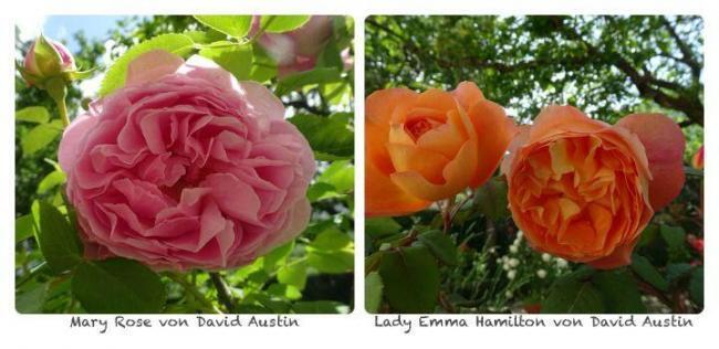 Gartenarbeiten im Juni, Standort für Rosen suchen