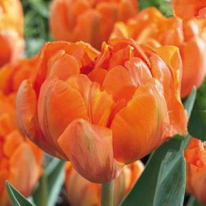 Fröhlich bunter Garten: Blumenzwiebeln im Herbst setzen!
