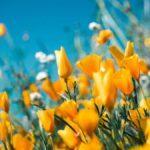 Blumenzwiebeln kaufen, Tipps, elegant, Garten Magazin