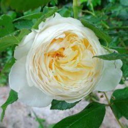 Gartenarbeiten im September, englische Rosen Bilder