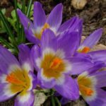 Frühlingsblüher im Schatten, Gartengestaltung, Garten Magazin