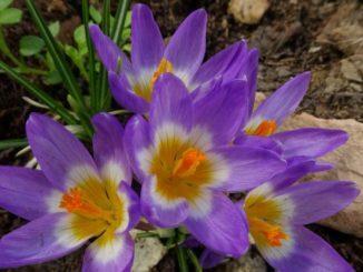 Frühlingsblüher im Schatten, Gartengestaltung