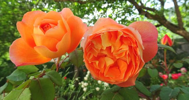 englische Rosen, Garten anlegen, elegant