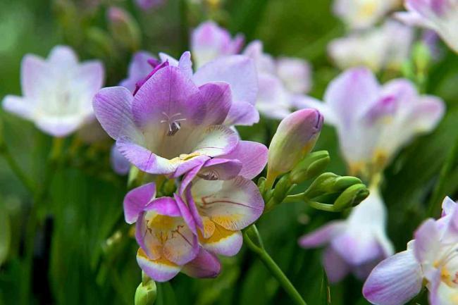 Blumen im Garten, Freesien, Blumenzwiebeln kaufen
