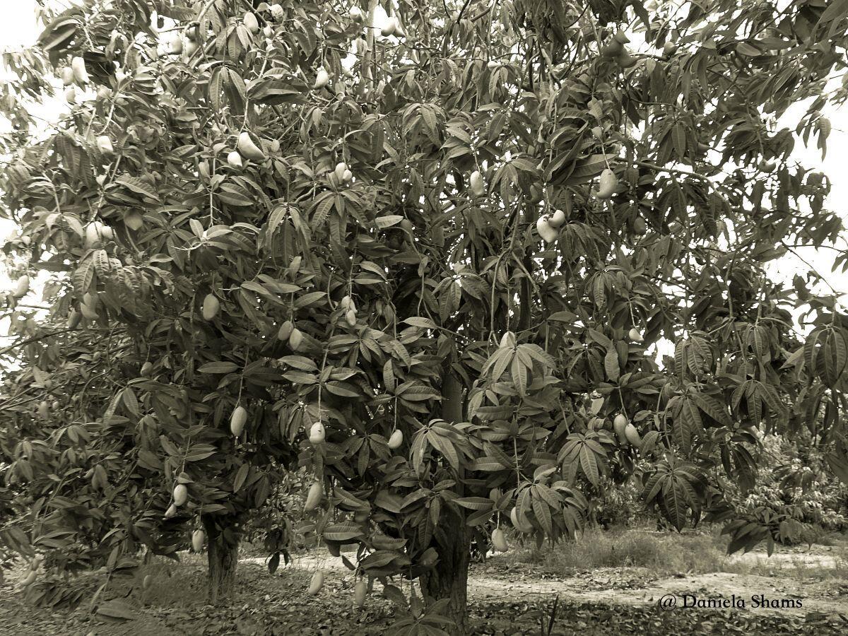 Ein Mangobaum in Ägypten