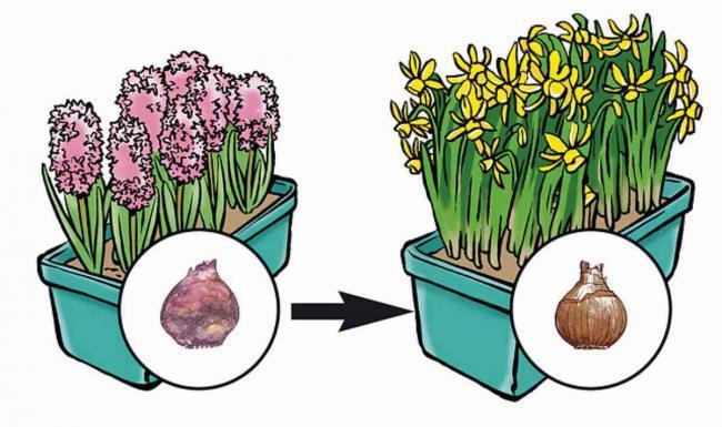 Blumenzwiebeln im Topf pflanzen